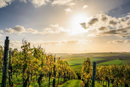 priča o jednom vinogradu